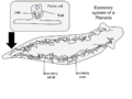 Planaria excretory system!.png