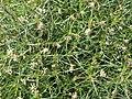 Plantago sempervirens 2015-05-17 04.jpg