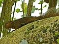Plantain Squirrel (Callosciurus notatus) (8121937962).jpg