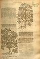 Plantarum Seu Stirpium Historia page 375 flattened.jpg