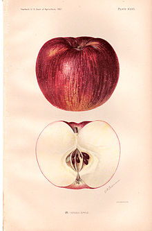 Illustration of red and green apple above, and a cross section of the same below.
