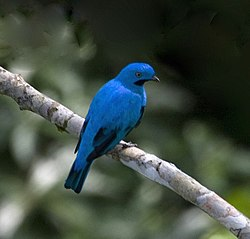 Plum-throated Cotinga (Cotinga maynana) (16781121739).jpg