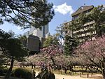Plum blossoms in Shukkei Garden 5.jpg