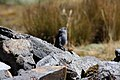 Plumbeous Sierra-Finch (Phrygilus unicolor) (4856442593).jpg