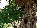 Plumeria rubra (517569956).jpg