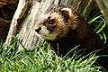 Polecat - British Wildlife Centre (17145615698).jpg