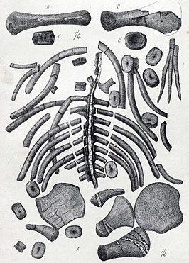 Materiaal van (A) Cimoliasaurus en (B-C) Polycotylus