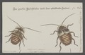 Polyzosteria - Print - Iconographia Zoologica - Special Collections University of Amsterdam - UBAINV0274 065 02 0002.tif
