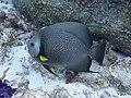 Pomacanthus arcuatus 109580400.jpg