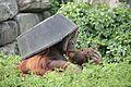Pongo abelii at the Philadelphia Zoo 010.jpg
