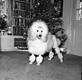 Poodle standing in front of a Christmas tree - Tallahassee (37972550685).jpg