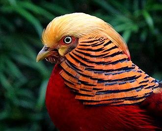 Golden pheasant - Male golden pheasant