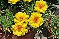 Portulaca grandiflora, Burdwan, 31032014 (2).jpg