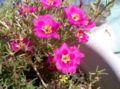 Portulaca grandiflora3.jpg