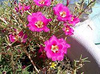 Portulaca grandiflora3