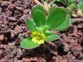 Portulaca oleracea 3.jpg
