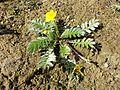Potentilla anserina (subsp. anserina) sl7.jpg