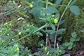 Potentilla villosa GotBot 2015 001.jpg