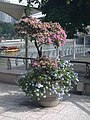 Potted Plumbago auriculata near Esplanade – Theatres on the Bay, Singapore - 20101120-01.jpg