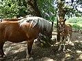 Poulain de cheval de trait, Mirabel en Ardèche 02.jpg
