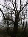 Pow Mill Black Poplar.JPG