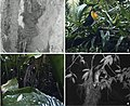Predators of bird nests recorded with camera traps in an area of Atlantic rainforest.jpg