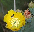 Prickleypear Cactus Bloom and Honey Bee (129878389).jpg