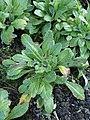 Primula farinosa kz01.jpg