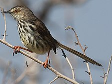 Prinia maculosa -Rooisands Nature Reserve, near Bot River Lagoon, South Africa-8.jpg