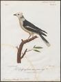Prionops plumatus - 1796-1808 - Print - Iconographia Zoologica - Special Collections University of Amsterdam - UBA01 IZ16600453.tif