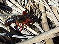 Procambarus clarkii-1.jpg