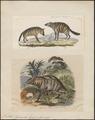 Proteles lalandii - 1700-1880 - Print - Iconographia Zoologica - Special Collections University of Amsterdam - UBA01 IZ22200105.tif
