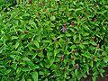 Prunella vulgaris 001.JPG