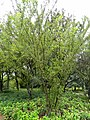 Prunus ceraifera - Kunming Botanical Garden - DSC03201.JPG
