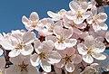 Prunus cerasifera pissardii Цветение.jpg
