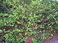 Prunus laurocerasus.jpg