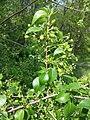 Prunus mahaleb sl22.jpg