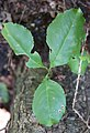 Prunus serotina (Amerikaanse vogelkers) - Oud Leeuwenhorst, Noordwijkerhout.jpg