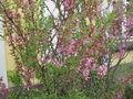 Prunus tenella1.jpg