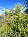 Ptelea trifoliata kz04.jpg