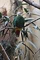 Ptilinopus melanospilus -London Zoo, England-8a.jpg