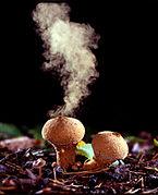 Puffballs emitting spores.jpg