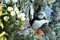 Puffin - Bempton Cliffs (28248653071).jpg