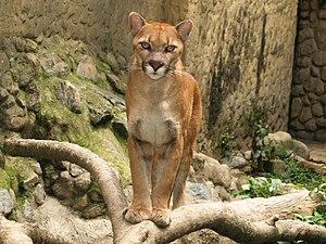 Español: Los pumas son felinos que pueden apre...