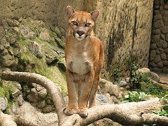 South American cougar - Captive cougar at Santa Fe Zoo, Argentina