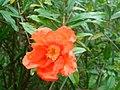 Punica granatum flower (2).jpg