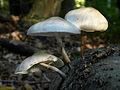 Purkersdorf - Naturpark Sandsteinwienerwald - Buchen-Schleimrübling (Oudemansiella mucida) auf Totholz (2010).jpg