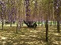 Purple wisteria in Kawachi Wisteria Garden 20150509-6.JPG