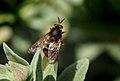 Pycnomalla splendens (Stratiomyidae), La Lancha, Parque natural de la Sierra de Andújar, España (33267687392).jpg