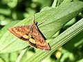 Pyrausta californicalis Moth.jpg